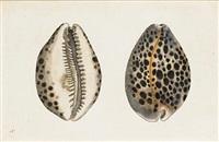 shells (+ 2 others, irgr; 3 works) by frederick p. nodder