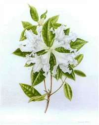 white rhododendron by susannah blaxill