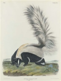large tailed skunk, male, natural size, mephitis macroura, pl. cii (by j.t. bowen) by john woodhouse audubon