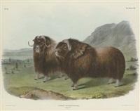 musk ox, males, ovibos moschatus, pl. cxi (by j.t. bowen) by john woodhouse audubon