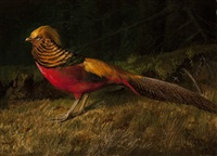 golden pheasant by niels peter rasmussen
