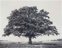 oak, kaggevinne (from the series flanders trees) by rodney graham