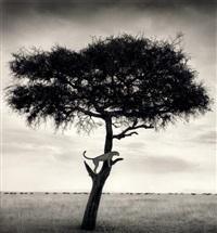 cheetah in tree, maasai mara by nick brandt