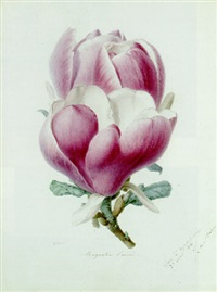 a magnolia flower by alfred riocreux