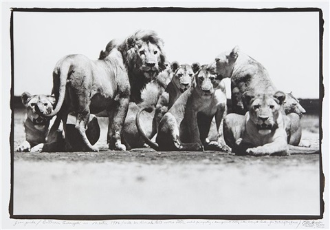 lion pride southern serengeti nr ndutu for the end of the game by peter beard