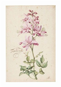 dictamnus, also called fraxinella (dictamnus albus) by balthasar van der ast