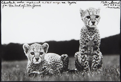 cheetah cubs orphaned at mweiga nr nyeri for the end of the game by peter beard