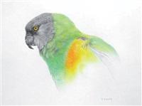 senegal parrot by martin aveling