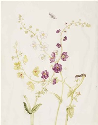 a sheet of studies of yellow and purple verbascum, with the life-cycle of a moth by johanna helena graff