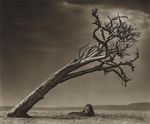 lion under leaning tree by nick brandt