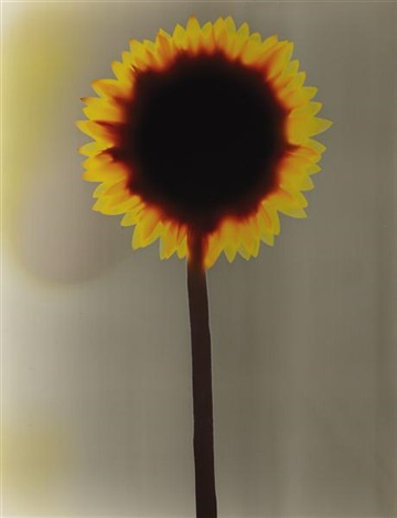 untitled sunflower by adam fuss