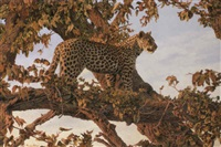 leopard, botswana, chobe by paul augustinus