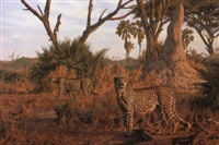 cheetah, tchau islani, okavango by paul augustinus