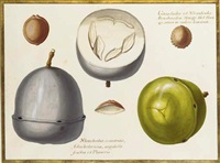 two studies of an exotic fruit, a cross section of the same and three seeds by claude aubriet