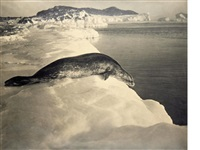 weddell seal about to dive, cape evans by herbert george ponting