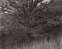 oak tree, holmdel, new jersey by george tice