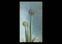 onion flower by tama ragusa