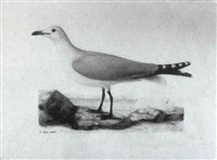 audouin gull by a.j.b. vaillant