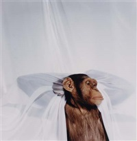chimpanzee with curtain by james balog