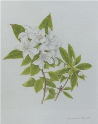 mock orange blossom by susannah blaxill