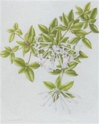 bouvardia by susannah blaxill