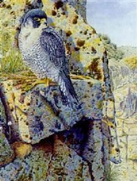 peregrine falcon on a rocky ledge by neil allen