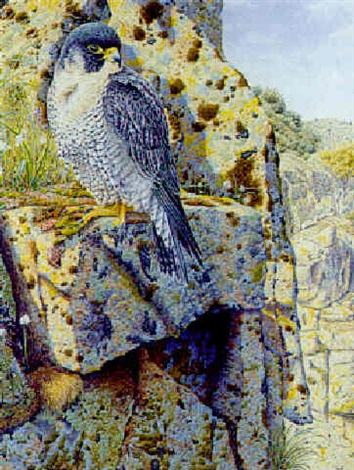 peregrine falcon on a rocky ledge by neil allen