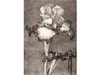 iris ii in a clamp by william kentridge