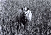 rhinoceros, india by ylla