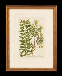 from phytanthoza iconographia (pair) by johann wilhelm weinmann