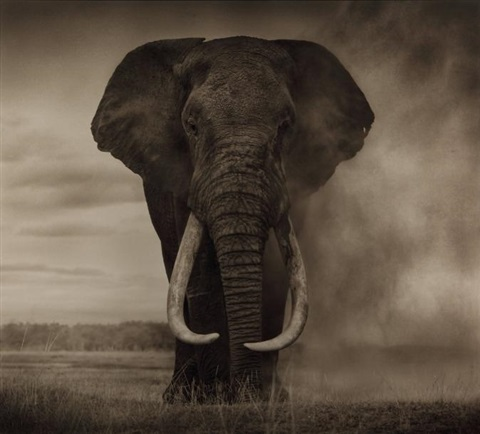 elephant in dust by nick brandt