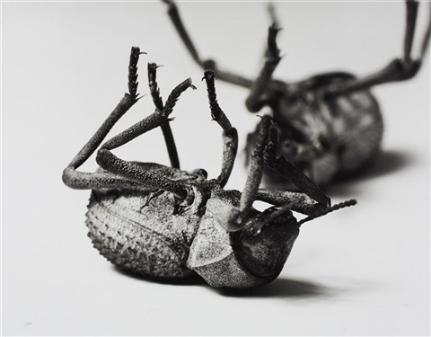 tenebrionidae asbolus verrucosus death feigning beetle silverlake california october 1 1996 by christopher williams