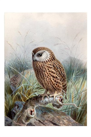 perched owl by johannes gerardus keulemans