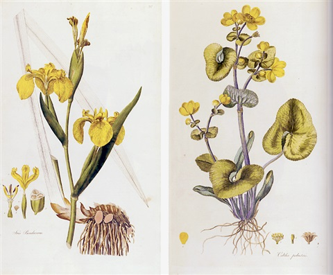 flora londinensis or plates and descriptions of such plants as grow wild in the environs of london by william curtis