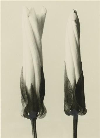 convolvulus sepium by karl blossfeldt