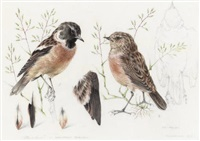 study of a redpoll (+ study of a stonechat; 2 works) by mildred eldridge