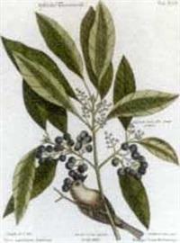 hortus vitidissimis: two plates by johann michael seligmann