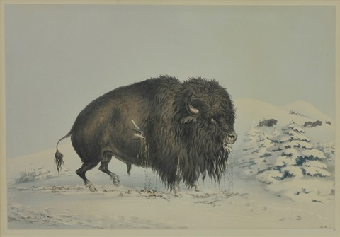 wounded buffalo bull by george catlin