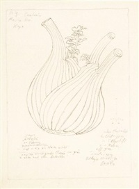 fenchel (study) by arnold leissler