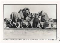 lion pride, 1976 by peter beard