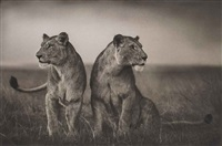 lionesses readying to hunt, masai mara by nick brandt