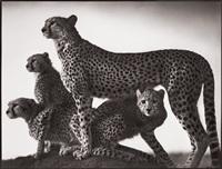 cheetah and cubs, masai mara by nick brandt