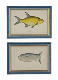 untitled (20 works from a history of the fishes of the british isles) by jonathan couch