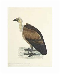 a study of a bengal vulture (from natural history drawings) by anonymous-indian (19)