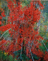red woodbine, vermont by christopher burkett