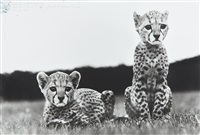 cheetah cubs orphaned at mweiga nr. nyeri for the end of the game by peter beard