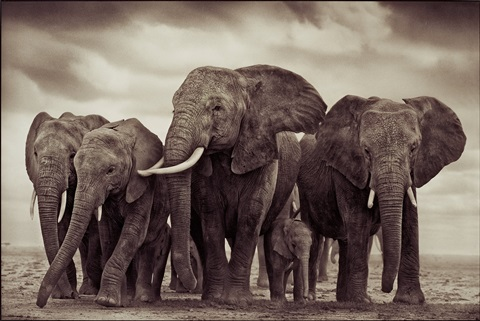 elephant five amboseli by nick brandt