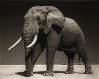elephant with half-ear, amboseli (july 2010), killed by poachers (august 2010) (from across the ravaged land. archival) by nick brandt