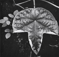 leaf and raindrops by brett weston