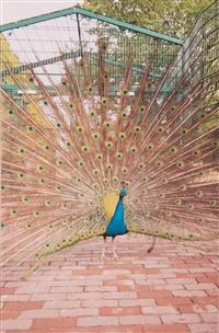 senza titolo (peacock) by jitka hanzlová